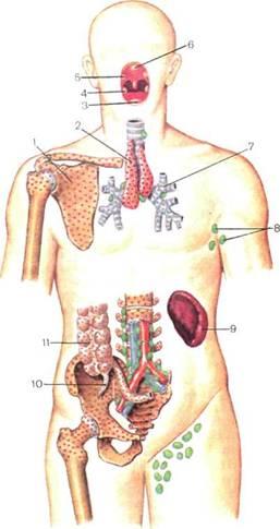 Схема расположения центральных и периферических органов иммунной системы у человека: 1 - костный мозг; 2 - миндалины...