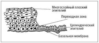 Многослойный плоский эпителий влагалища эпителий